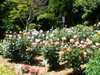 2018-06-09花巻薔薇園105