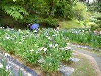 2018-06-30平泉-毛越寺アヤメ祭り-しろぷーうさぎ064