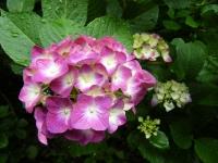 2018-07-08舞川紫陽花園ー重箱石054