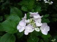 2018-07-08舞川紫陽花園ー重箱石050