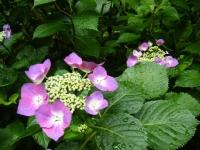 2018-07-08舞川紫陽花園ー重箱石060