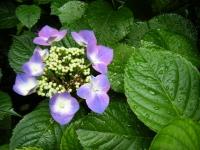 2018-07-08舞川紫陽花園ー重箱石058