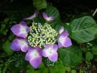 2018-07-08舞川紫陽花園ー重箱石057
