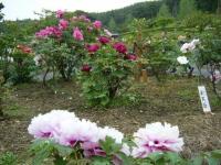 2018-05-13花と泉の公園-牡丹園150