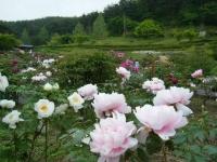 2018-05-13花と泉の公園-牡丹園149