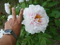 2018-05-13花と泉の公園-牡丹園147