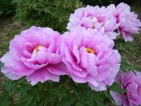 2018-05-13花と泉の公園-牡丹園146
