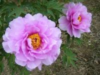 2018-05-13花と泉の公園-牡丹園145