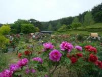 2018-05-13花と泉の公園-牡丹園156