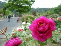 2018-05-13花と泉の公園-牡丹園154