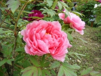 2018-05-13花と泉の公園-牡丹園155