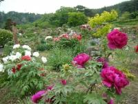 2018-05-13花と泉の公園-牡丹園153