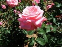 2018-06-09花巻薔薇園113