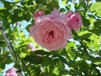 2018-06-09花巻薔薇園114