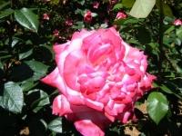 2018-06-09花巻薔薇園110