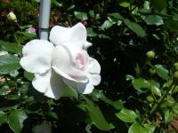 2018-06-09花巻薔薇園109