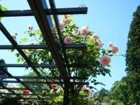 2018-06-09花巻薔薇園120