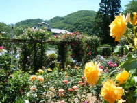 2018-06-09花巻薔薇園117