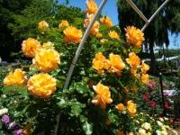 2018-06-09花巻薔薇園116