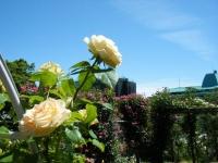2018-06-09花巻薔薇園115