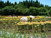 2018-06-30一迫ユリ園ーしろぷーうさぎー076
