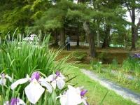2018-06-30平泉-毛越寺アヤメ祭り-しろぷーうさぎ077
