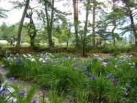 2018-06-30平泉-毛越寺アヤメ祭り-しろぷーうさぎ073