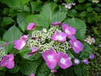2018-07-08舞川紫陽花園ー重箱石065