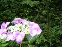2018-07-08舞川紫陽花園ー重箱石061