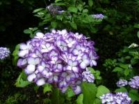 2018-07-08舞川紫陽花園ー重箱石071