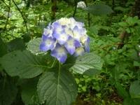 2018-07-08舞川紫陽花園ー重箱石069