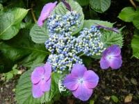 2018-07-08舞川紫陽花園ー重箱石067