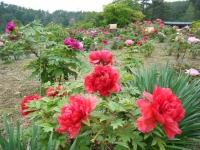 2018-05-13花と泉の公園-牡丹園162