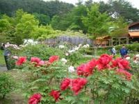 2018-05-13花と泉の公園-牡丹園160
