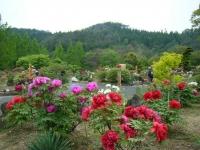 2018-05-13花と泉の公園-牡丹園159