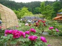 2018-05-13花と泉の公園-牡丹園157