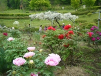 2018-05-13花と泉の公園-牡丹園167