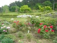 2018-05-13花と泉の公園-牡丹園164