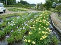2018-06-16登米市南方花菖蒲の郷-しろぷーうさぎ115
