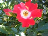 2018-06-09花巻薔薇園126