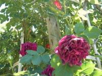 2018-06-09花巻薔薇園132