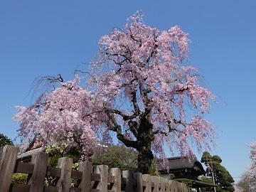 1-4枝垂桜