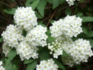 1 コデマリの花