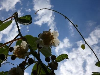 2 キウイフルーツの花