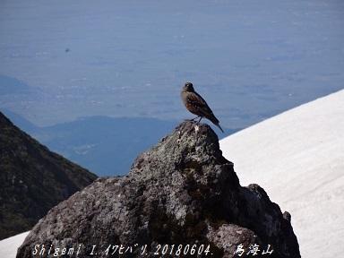 11.イワヒバリ 鳥海山 20180604