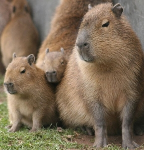 capybara1.jpg