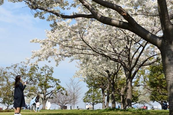 赤レンガの桜5