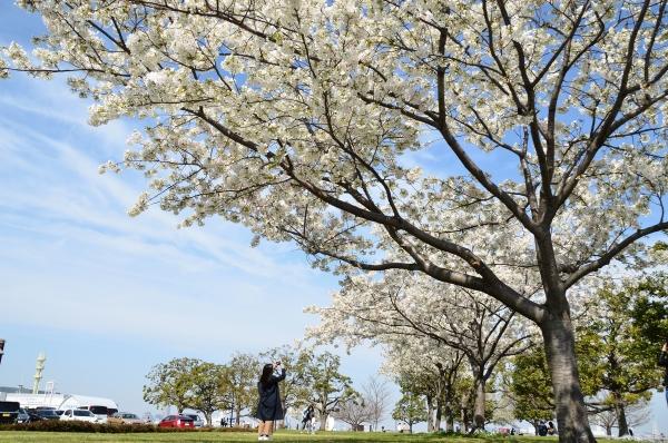 赤レンガの桜6