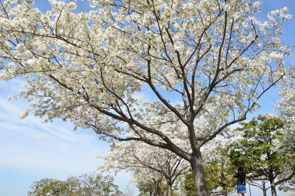 赤レンガの桜4