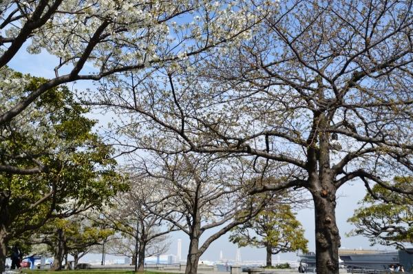 赤レンガの桜3